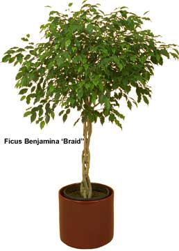 Ficus Tree Care | FicusTree