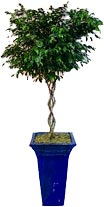 Ficus Benjamina The Weeping Fig