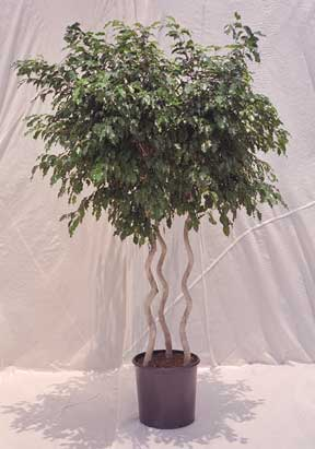 Ficus Benjamin Triple Twist Tree